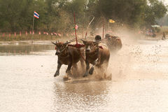 Water buffalo racing in Thailand. Stock Photo