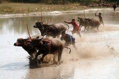 Water buffalo racing in Thailand. Royalty Free Stock Photo
