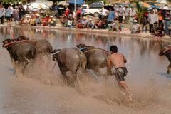Water buffalo racing in Thailand. Stock Photos