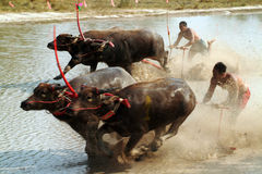 Water buffalo racing in Thailand. Stock Photo