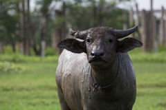 Water Buffalo Stock Image
