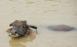 Water buffalo refreshing himself in a river Royalty Free Stock Image