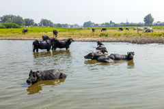 Water buffalo relaxes Royalty Free Stock Images