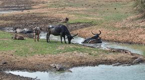 Water buffalo resting in the mud at the pond. stock photo
