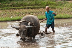 Water buffalo rice farming Royalty Free Stock Images