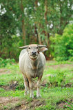 Water buffalo. In the rice field royalty free stock photos