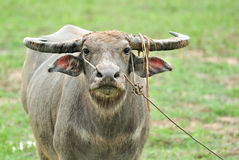 Water buffalo. In the rice field stock images