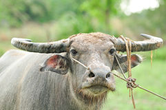 Water buffalo. In the rice field royalty free stock images