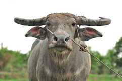 Water buffalo. In the rice field stock image