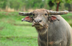 Water buffalo. In the rice field royalty free stock photo