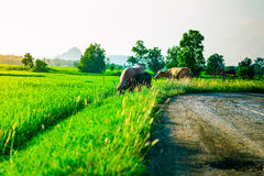 Water buffalo in a rice field in Vietnam. Field landscape paddy buffalo asia rice green animal vietnamese picturesque vietnam tropical horns outside traditional Royalty Free Stock Photo