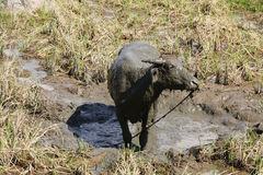 Water Buffalo in rice fields Stock Photos