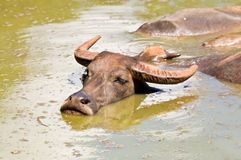 Water buffalo in river. Royalty Free Stock Photography