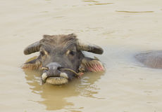 Water buffalo in the river. Domestic water buffalo in the river Stock Images