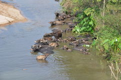 Water buffalo in river Stock Photos