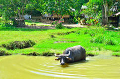 Water buffalo in river. Large horned water buffalo standing in a river Stock Images