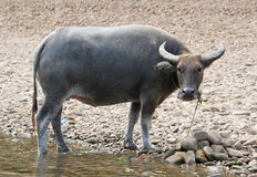 Water buffalo at riverside. An Asian water buffalo at the riverside Royalty Free Stock Images