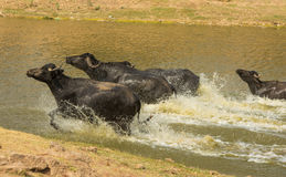 Water buffalo running in lake Royalty Free Stock Photo