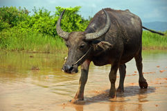 Water Buffalo rural Cambodia. Water buffalo walking alongside a rice paddy in rural Cambodia stock image