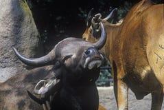 Water Buffalo, San Diego Zoo, CA, Javan Benteng, Bos javanicus Stock Photo