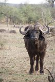 Water Buffalo in Kruger National Park. Water Buffalo in savanna part of Kruger National Park, South Africa Stock Photography