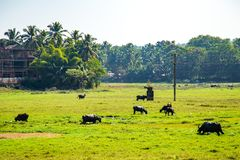 Water Buffalo in India. Water buffalo scene in Goa, India Royalty Free Stock Photo