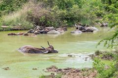Water Buffalo.Sri Lanka. royalty free stock images