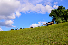 Water buffalo standing on green grass in countryside Stock Images