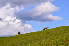 Water buffalo standing on green grass in countryside Royalty Free Stock Photos