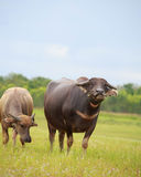 Water buffalo standing on green grass and looking to a camera Stock Photos