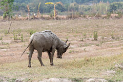 Water buffalo standing relax after soaking mu. D with soft focus Royalty Free Stock Photography