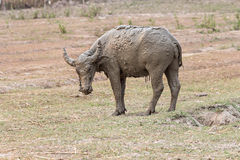 Water buffalo standing relax after soaking mud Stock Photography