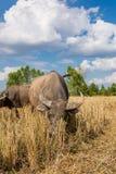 Water buffalo standing on rice field Stock Image