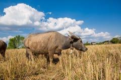 Water buffalo standing on rice field Stock Photo