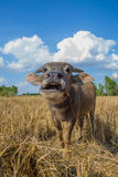 Water buffalo standing on rice field Royalty Free Stock Photography
