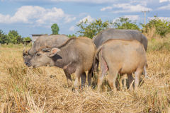 Water buffalo standing on rice field Stock Images