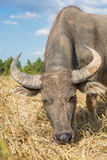 Water buffalo standing on rice field Royalty Free Stock Photo
