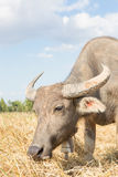 Water buffalo standing on rice field Stock Photos