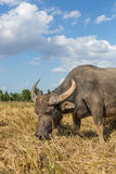 Water buffalo standing on rice field Royalty Free Stock Photos