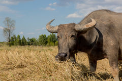 Water buffalo standing on rice field Royalty Free Stock Image
