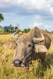 Water buffalo standing on rice field Stock Photography
