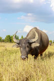 Water buffalo standing on rice field Royalty Free Stock Images