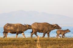 Water buffalo Royalty Free Stock Photography