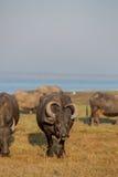 Water buffalo Royalty Free Stock Photo