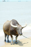 Water buffalo Stock Images