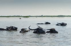 The water buffalo at Thalenoi Phatthalung , Thailand. royalty free stock image