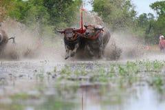 Water buffalo tradition Stock Photos