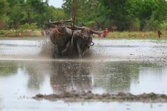 Water buffalo tradition Stock Photography