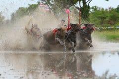 Water buffalo tradition Stock Photo