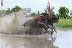 Water buffalo tradition Royalty Free Stock Photos